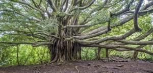 Spend The Holidays Enjoying the Lighting of the Banyan Tree
